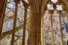 Die Magnolie im Kreuzgang von Kloster Maulbronn blüht - dieses Jahr ohne Publikum