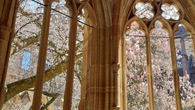 Kloster Maulbronn__Kreuzgarten mit blühender Magnolie_foto-ssg-petra-mohr
